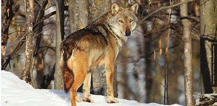 Wolfalps440x216